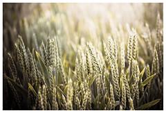 Erntezeit (memories-in-motion) Tags: ernte erntezeit weizen corn feld field farming landwirtschaft rural reif lebensmittel energie texture muster kornfeld canoneos5dmarkiii ef70200mmf28lisiiusm bokeh harvest