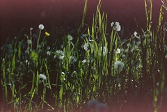 Evening Glow (poppyalicetea) Tags: sooc film light leak red green canoneos canon grainy damaged
