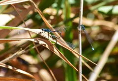 (careth@2012) Tags: damselfly nature