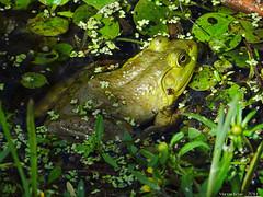 The Green Blob (Badhabit07) Tags: sony cybershot dschx100v grenouille frog sepaq oka water