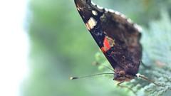 Butterfly (Aadilos) Tags: nikon d5200 garden tuin butterfly sigma mini wide 2