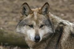 Mexican gray wolf (ucumari photography) Tags: ucumariphotography mexicangraywolf canislupusbaileyi animal mammal march 2014 columbus ohio zoo