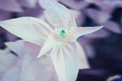 IMG_8321 (gregeryhitchcock) Tags: rose 40d conversion full spectrum ir near infrared uv ultraviolet nir nuv flower flowers insect 50mm tilt shift ts f18 18 macro