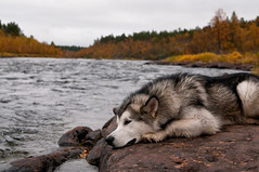 trying to catch fish by blending in with the rocks (johanskold) Tags: alaskanmalamute dog hiking backpacking nature arcticcircle kaitum doglife autmn fall fishing flyfishing nikon