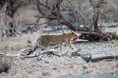 DSC_4259.JPG (manuel.schellenberg) Tags: namibia etosha animal nationalpark leopard