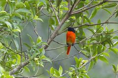 Scarlet Minivet (male) (christopheradler) Tags: malaysia scarlet minivet pericrocotus speciosus