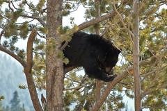 _DSC6006 (norm erikson) Tags: blackbear yellowstonewildlife