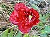 Hibiscus Rosa-Sinensis - Hibisco - Flora - Canajurê - Florianópolis-SC (Regis Silbar) Tags: regissilbar regis silbar hibiscusrosasinensis hibisco flora flor florvermelha praiadecanajurê florianópolis sc santacatarina
