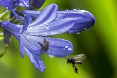 Bee & Agapanthus (PriscillaBurcher) Tags: agapanthuspraecox commonagapanthus bluelily africanlily lilyofthenile agapanto bee l1410158