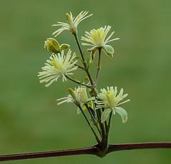 Bosrank - Evergreen climatis - Clematis vitalba (from Yves) Tags: ranunculaceae ranonkelfamilie climatis wild flowers wilde plant macro 100 mm l1753