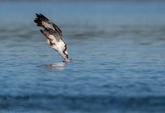 Osprey Dive 9_17 (krisinct- Thanks for 12 Million views!) Tags: nikon d500 500 f4 vrg