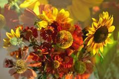 Sonnenbraut (berndtolksdorf1) Tags: sonnenbraut mehrfachbelichtung blumen sommerstraus flowers blten pflanzen gelb yellow rot red