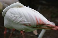 Flamingo (Lim SK) Tags:  phoenicopterus roseus