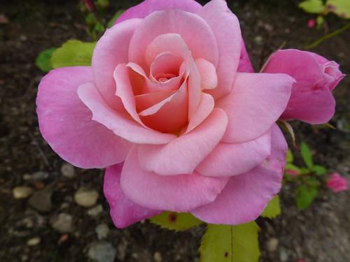 Pink Rose !