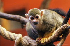 South American Squirrel Monkey (Martin Hlinka Photography) Tags: zoo animals wild canon eos 60d 70200mm f28 usm l animal outdoor brno czech republic esk republika south american squirrel monkey