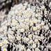 Silver helichrysum (Helichrysum citrispinum)