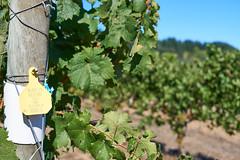 DSC00882-4800 (westonde) Tags: winery vineyard rokkor minolta grapes oregon forestgrove