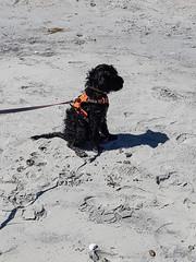 Gabby Sand Sittin (crisp4dogs) Tags: gabby pwd portuguesewaterdog puppy crisp4dogs beach intercoastalwaterway