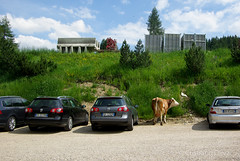 free parking (morphyne) Tags: cars cow parking erba mucca trentino parcheggio vacca pentaxk10d brucare