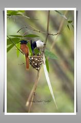 Asian Paradise-Flycatcher (Z.Faisal) Tags: bird asian paradise bangladesh faisal flycatcher zamiruddin zfaisal