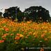 中正小菊_5d-20121104-36-3-nik.jpg