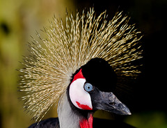 Grey Crowned Crane (Alchimi) Tags: