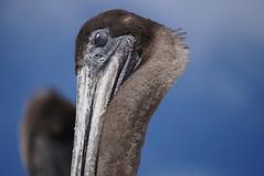 DSC04021.JPG (Vee Love) Tags: bird beach closeup elementsorganizer pelicanredondo