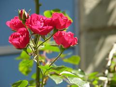 Roses (alexfiles) Tags: roses argentina rosario
