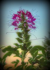 Cleome (Larry Senalik) Tags: pink plant flower illinois 2012 cleome