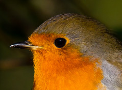 Robin Portrait (jdoakey) Tags: uk greatbritain portrait england brown colour detail macro bird eye beautiful robin animal closeup pretty colours close eyelashes britain sony great norfolk beak feathers feather whiskers stunning norwich british lovely alpha dslr favourite fen animalplanet bearded oakley redbreast strumpshaw a55 featheryfriday thewildlife strumpshawfen flickraward avianexcellence dslt sal70400g sony70400 flickraward flickraward5 flickrawardgallery sonya55 theinspirationgroup