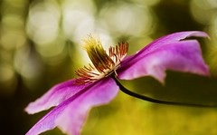 Pink Clematis (Explored!) (j man ) Tags: life lighting pink friends light flower color macro art texture nature floral colors beautiful closeup lens photography illinois cool flickr dof blossom bokeh pov background sony details clematis favorites 11 depthoffield pointofview sp ii views di if f2 tamron centered comments ld jman a300 af60mm mygearandme flickrbronzetrophygroup