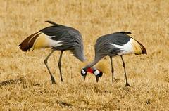 Crowned Cranes (shashin62) Tags: africa bird animal tanzania crane wildlife cranes safari ngorongoro crater wilderness ngorongorocrater crownedcranes beautifulworldchallenges