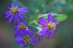 purple flowers. (cate) Tags: autumn purpleflowers