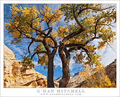Cottonwood Trees and Cloud-Filled Sky (G Dan Mitchell) Tags: old travel autumn trees red sky cliff usa cloud mountain southwest color green fall monument nature leaves yellow rock america river season print landscape gold utah sandstone branches north stock scenic grand canyon filled national staircase massive cottonwood license trunk wilderness silhouetted escalante