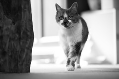 Miyako walking inside (Takashi(aes256)) Tags: animal cat  miyako   nikond4 nikonafsnikkor70200mmf28gedvrii