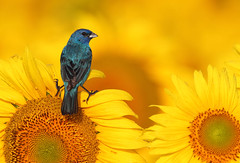 Indigo Bunting on Sunflower (mike o1) Tags: flower bird sunflower indigobunting