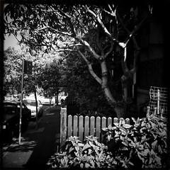 Sydney suburban - the corner terrace (Albion Harrison-Naish) Tags: street blackandwhite tree monochrome fence square noiretblanc sydney australia nostalgia squareformat nsw newsouthwales lush glebe iphone architype mobilephotography iphone4 johnslens iphoneography sydneystreetphotography hipstamatic blackeyssupergrainfilm streetphotogoraphy