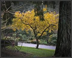 Tree and wheel  11 26 2012 (rbdal (Rick Dalrymple)) Tags: trees tree fall leaves yellow oregon gold fallcolor beaverton finepix fujifilm citypark washingtoncounty ax550 jekinsestate