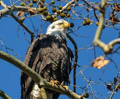 Bald Eagle (jt893x) Tags: bird nikon eagle baldeagle sigma raptor haliaeetusleucocephalus d800 150500mm