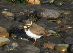 Semipalmated Plover (David Y. Allen) Tags: birds plover shorebirds plovers charadriussemipalmatus semipalmated