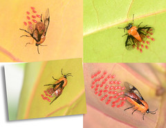 Egg laying (roijoy) Tags: belize insects flies egglaying