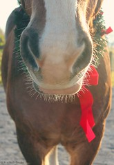 red bow and whiskers (Jen MacNeill) Tags: light horse holiday animal closeup farm whiskers wreath bow chestnut belgian stable muzzle workhorse gypsymarestudios jennifermacneilltraylor