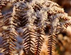 Autumn meets Winter (joeke pieters) Tags: autumn winter snow fern fall sneeuw herfst varen panasonicdmcfz150 1030966