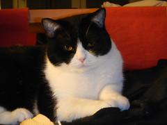 DSCN3090 (Ottmar H.) Tags: cat chat gato katze macska  kater  tomcat