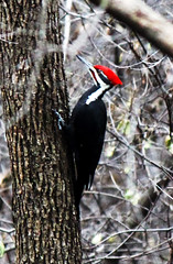 Male Pileated Woodpecker (Kris Austen Radcliffe) Tags: red black nature woodpecker pileatedwoodpecker malepileatedwoodpecker