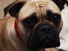 Blossom (Auntie P) Tags: dog blossom sadface saddog