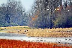 Flight Patterns [Explored] (Gary Grossman) Tags: autumn nature oregon landscape december natural flight columbiariver wetlands marsh vector latefall wetland sauvieisland sauvie flightpattern vectorcontrol