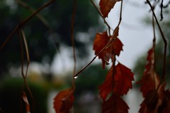 He breathes a blessing on the rain. (Faizan Mobeen Athar) Tags: autumn fall leaves rain photography leaf dof drop photograph waterdrops quran verse rainydays