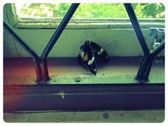 Meninggal (hasant) Tags: butterfly flamingo kupukupu sekitar uploaded:by=flickrmobile flickriosapp:filter=flamingo