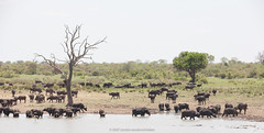 SOUTH AFRICA. October 2007. Kruger National Park. (annick vanderschelden) Tags: africa trees nature birds animal southafrica nationalpark tranquility tourist adventure safari explore naturereserve vegetation species wilderness habitat visitor picturesque eco naturalworld lowveld biodiversity conservationarea southernafrica naturalist wildernessarea backtonature wildlifereserve beautyinnature animalsandplants livingorganism animalwildlife nationalwildlifereserve